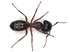 The Mighty Carpenter Ant!